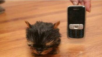 ตะลึง! ลูกสุนัขตัวเล็กที่สุดในโลกสูง 6 ซม.