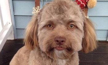 """ชาวโซเชียลขนลุก เมื่อพบกับ """"เจ้าโยกิ"""" สุนัขใบหน้าเหมือนคน"""