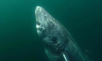 """โลกค้นพบ """"ทวดฉลาม"""" อายุ 500 ปี กลายเป็นสัตว์ที่แก่ที่สุดในโลก"""