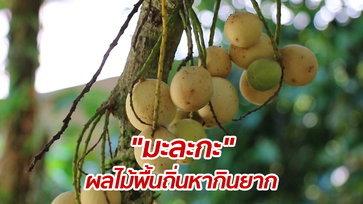 """เคยกินไหม? """"มะละกะ"""" ผลไม้คล้ายลองกองและลางสาด แต่มีรสชาติเฉพาะตัว"""