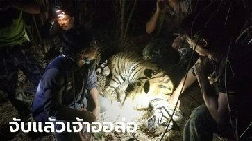 โล่งอก จับได้แล้วเสือหนัก 100 กิโลฯ หลุดจากกรงสถานีเพาะเลี้ยงสัตว์ป่าเขาสน