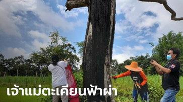 ชาวบ้านแห่ส่องเลขเด็ด ต้นตะเคียนอายุนับ 100 ปี ถูกฟ้าฝ่ายืนต้นตายกลางทุ่งนา