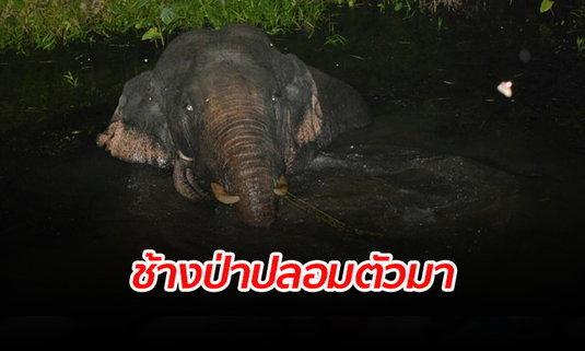 """เผยกลยุทธใหม่ """"ช้างป่า"""" แอบลอยตัวในน้ำกลางดึก ลอบเข้าสวนชาวบ้านหวังหาของกิน"""