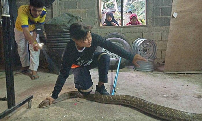 งูจงอางเข้าบ้าน