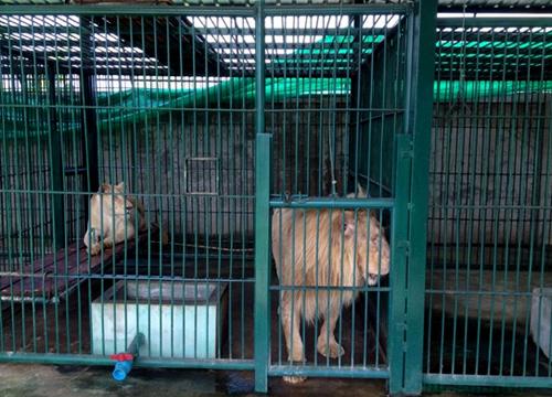 บุกจับสัตว์ป่าซ.หทัยราษฎร์39ยึดสิงโต14ตัวนำส่งขาย