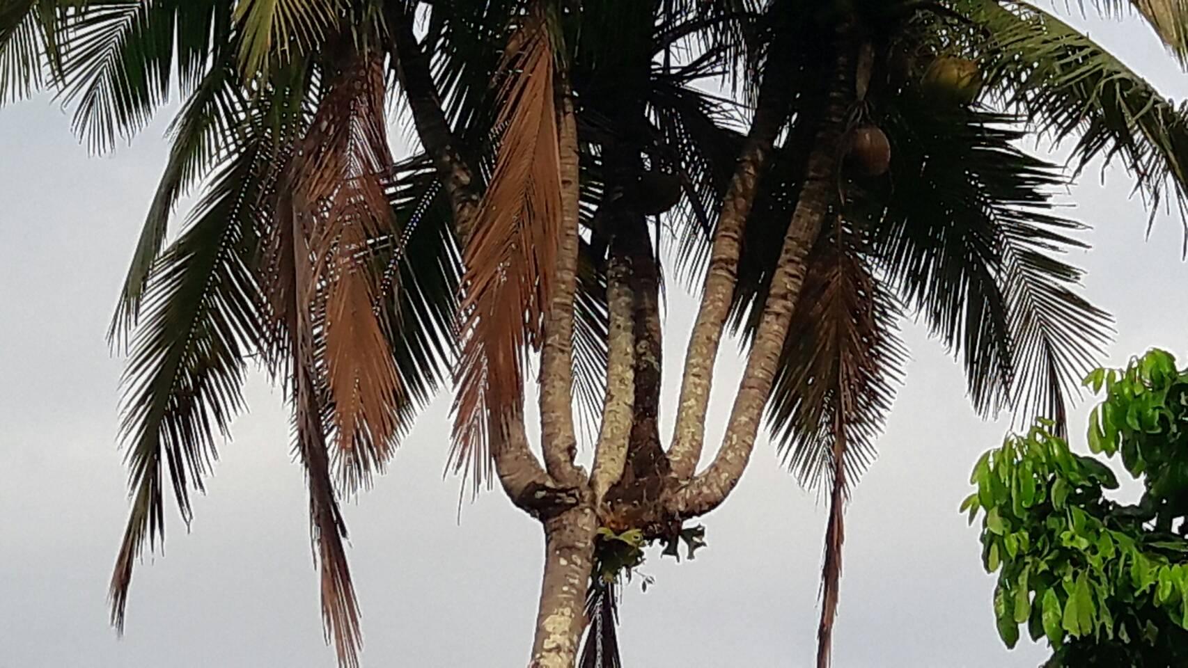 ฮือฮาพบต้นมะพร้าว 6ยอด เจ้าของเผยว่าขอซื้อ 4 หมื่นแต่ไม่ขาย