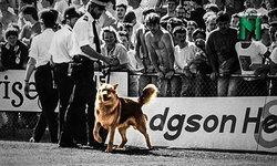 """คมเขี้ยวแห่งชัยชนะ : ความสำเร็จสูงสุดของทอร์คีย์ ที่มี """"สุนัข"""" เป็นพระเอก"""