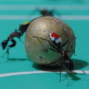 Ant World Cup 2010_1