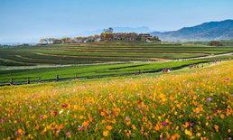 สิงห์ ซีรีส์รัน มาราธอนบนเส้นทางที่สวยงาม ท่ามกลางบรรยากาศทุ่งดอกไม้