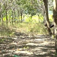 ชาวสวนยางโอดหลังถูกคนร้ายขโมยขี้ยางพารา