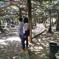 ต้นไทรงาม