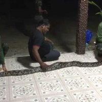 งูเหลือม 4 เมตร บุกกินไก่