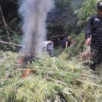 เจ้าหน้าที่ยึดและทำลายกัญชากว่า 700 ต้น