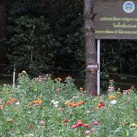 ทุ่งดอกกระดาษหนึ่งเดียวในประเทศไทย