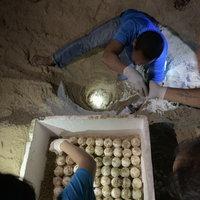 แม่เต่ามะเฟืองขึ้นวางไข่