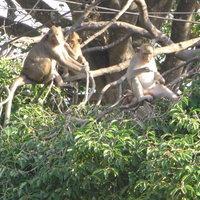 ลิงแสมกว่า 500 ตัว ออกผิงแดดแก้หนาวหลังอุณหภูมิลดฮวบอากาศเย็น