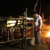เกษตรกรโคราช ก่อไฟเพิ่มความอบอุ่นให้โคเนื้อบราห์มัน