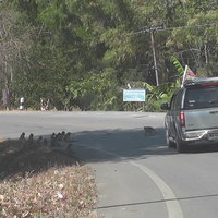 ฝูงลิงแสมลงจากเขาเดินเกลื่อนถนน