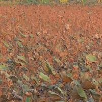 บัวแล้งน้ำ-นาบัวอ่างทองกว่า 50 ไร่ขาดน้ำยืนต้นตายเกลี้ยง
