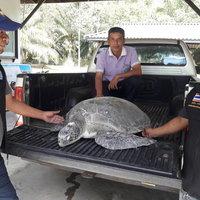 พบซากเต่าตนุตายถูกคลื่นซัดเกยหาด คุระบุรียังไม่ทราบสาเหตุการเสียชีวิต