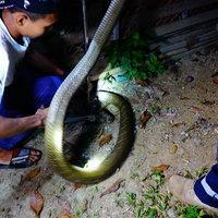 จับงูจงอางยาว 4 เมตร ขู่คำรามกำลังจะกินสัตว์เลี้ยง