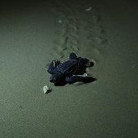 ลูกเต่ามะเฟืองรังแรกในรอบ 6 ปี ของ จ.ภูเก็ต ฟักตัวออกจากไข่แล้ว 79 ตัว