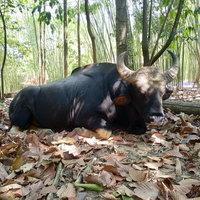แสนรู้! เจ้าทองดีกระทิงป่า หนีแล้งมาหากินที่สวนลุงโชค รอบ3