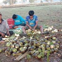 3 พ่อลูกปีนต้นตาลเลี้ยงชีพช่วงโควิด สร้างรายได้วันละ700-800 บาท