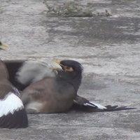 นกหัวร้อนนัดกันรุมจิกตีกันระบายอารมณ์
