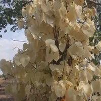 แห่กราบไหว้ต้นโพธิ์ใบสีทอง เชื่อเป็นต้นไม้ศักดิ์สิทธิ์ ให้โชคให้ลาภ