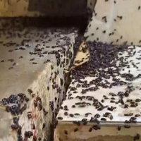 สะพรึง! แมลงปีกแข็งบุกวัดนับล้านตัว ไต่ยั้วเยี้ยเต็มวัด