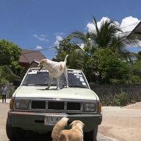 สองตัวบน! หมาแสนรู้ไหว้ขอขขนมยืนบนฝากระโปรงรถ