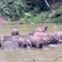 ภาพน่ารัก! โขลงช้างป่าเดินเรียงแถวลงสระน้ำคลายร้อน