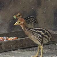 """""""ข้าวตูกับข้าวตัง"""" นกคาสโซวารีสัตว์ป่าหายาก ที่สวนสัตว์สงขลา"""