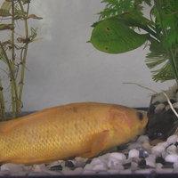 ปลาหมอนาสีทองให้โชค ถูกหวยบ่อย สมหวังดั่งตั้งใจ