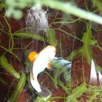 สุดเจ๋ง! นักวิชาการไทยสร้างปลานีโม่ ไร้ลวดลายได้สำเร็จ