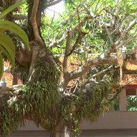 ต้นลีลาวดีโบราณวัดพระธาตุจอมทอง อายุมากกว่า 200 ปี