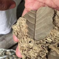 พบฟอสซิลใบไม้กลายเป็นหิน และฟอสซิลหนอนปลอกน้ำ