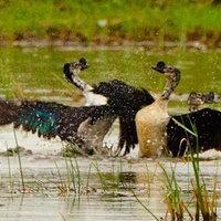 นกเป็ดหงส์ ความสวยงามทางธรรมชาติ