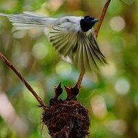 ภาพน่ารักของนกแซวสวรรค์เร่งจับแมลงป้อนลูกน้อย