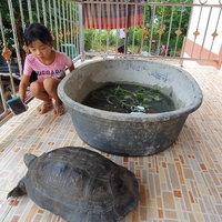 ฮือฮา! พบเต่ายักษ์ เชื่อปู่พญาเต่ามาให้โชค