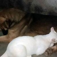 น่ารัก! ลูกแมวกำพร้าแม่ตาย ดูดนมจากหมาตัวผู้คิดว่าเป็นนมแม่