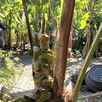 เลขเด็ด! พบต้นมะพร้าวมีรูปร่างคล้ายพญานาค ชาวบ้านแห่ขอโชค