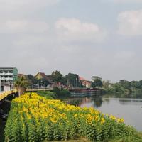 ริมแม่น้ำปราจีนฯ ดอกทานตะวันบานรอรับ นทท.