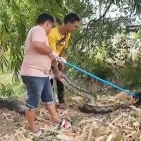 บ๊ะละคั๊ก! งูเหลือมเท่าอนาคอนด้า ใหญ่ยักษ์ยาวเล่นเอาเหนื่อย