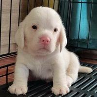 น้องน่ารัก! บีเกิลสุนัขเผือกตัวเเรกของไทย ดังไกลทั่วโลก