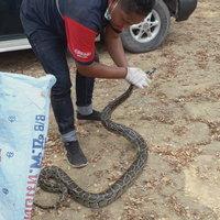 เลขเด็ด! งูเหลือมนอนขด เลื้อยหนีซุกถังน้ำมัน แห่ส่องทะเบียนรถ