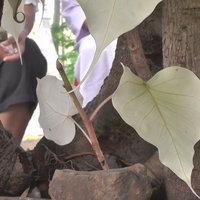 อัศจรรย์! ต้นโพธิ์ใบสีชมพูขาว ไม่ยอมเปลี่ยนเป็นสีเขียวนานกว่า 16 ปี