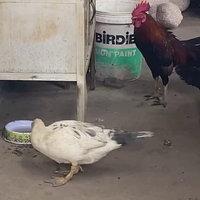 เยี๊ยดเปียด! คู่รักต่างสายพันธุ์ เจ้าของยืนยันไก่ผสมกับเป็ดออกมาเป็นไก่