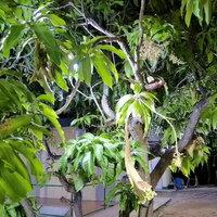 โชคมารวย! ต้นมะม่วงประหลาด ออกดอกเป็นงวงช้าง ปลายเป็นดอกหงอนไก่